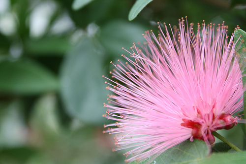 powder puff pink flower